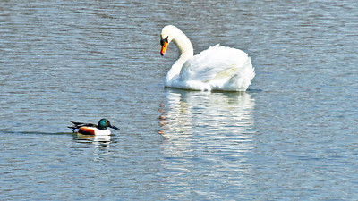 Windsor`s Swan Lake