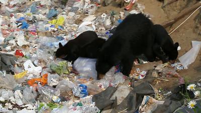 Bear and Three Cubs